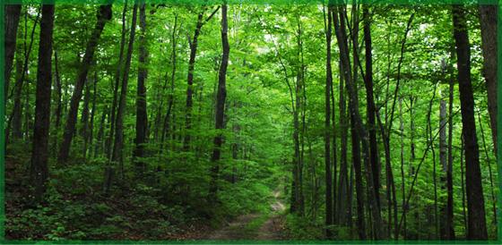 Miškų atsodinimas